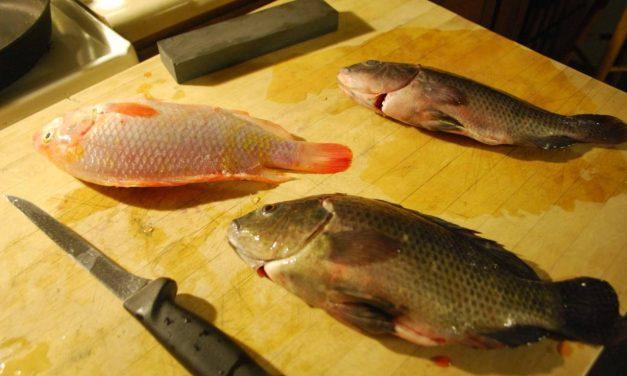 The Aquaponic Harvest: Fish Filleting