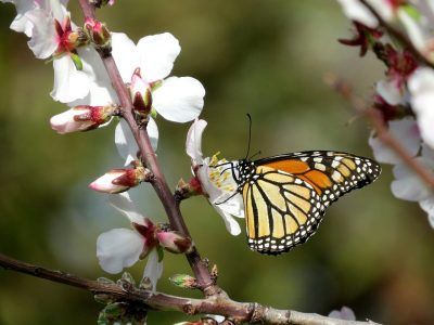 Does the Fungicide Threatening Bees Affect Monarch Butterflies Too?