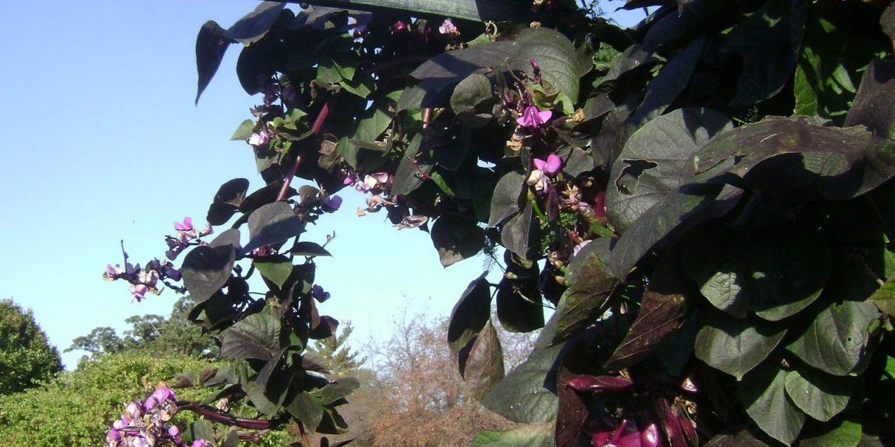 3 Cool Garden Beans to Grow