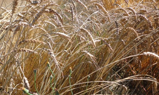 Grow Your Own Wheat
