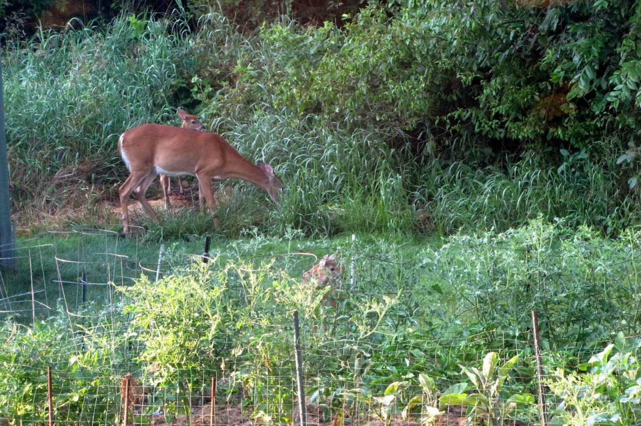 How To Keep Deer Out Of Vegetable Garden