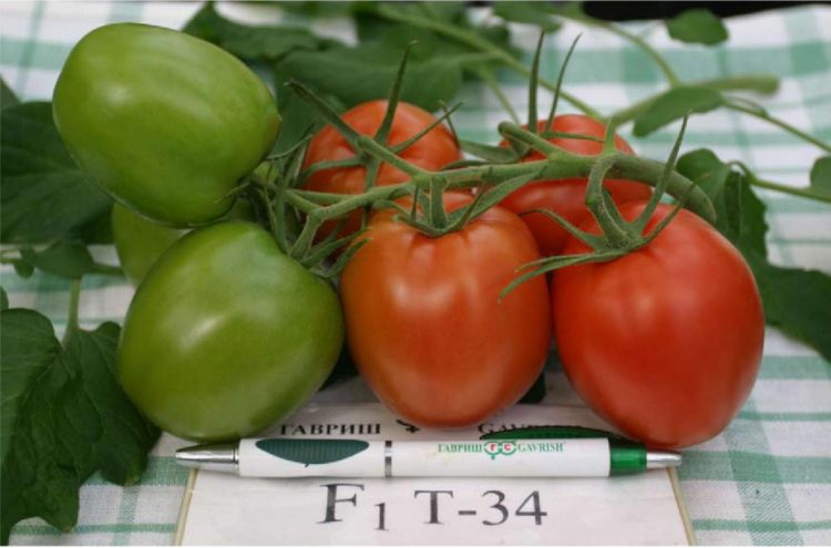 The Real T-34 Tomato: Russia's Organic Indoor Farming Star