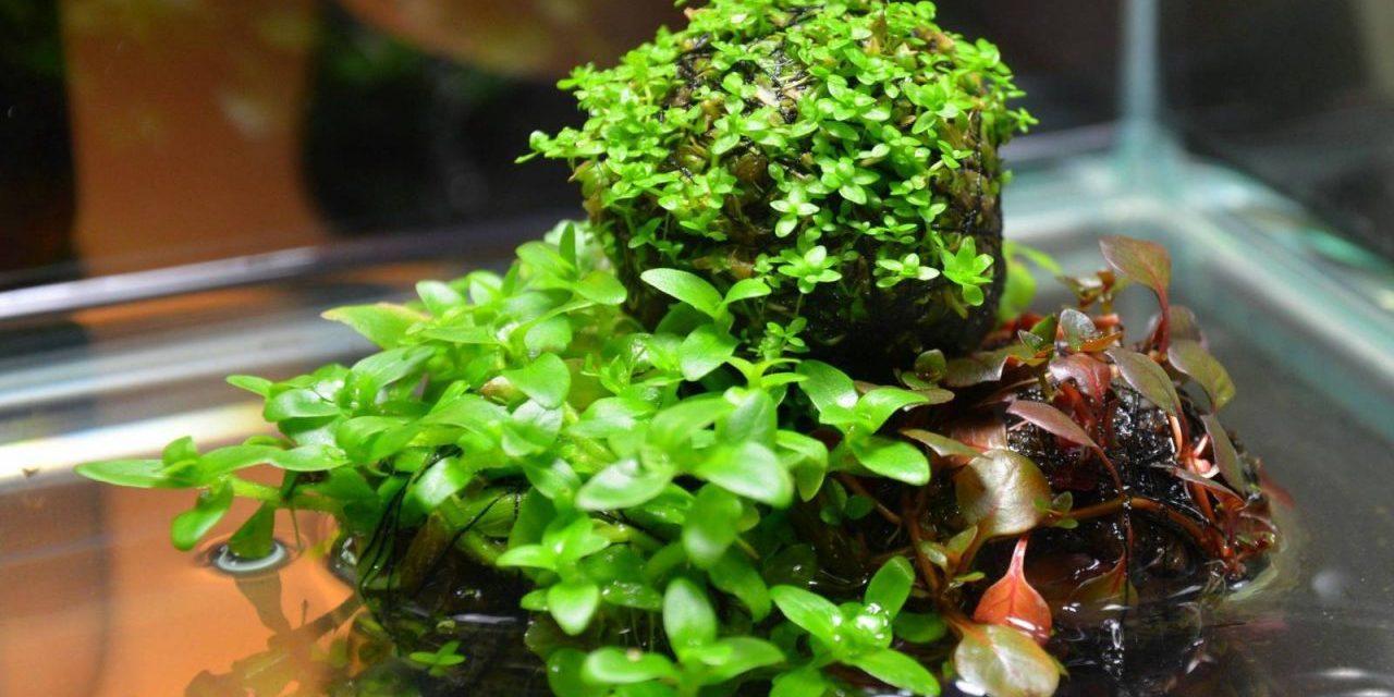 Simple indoor water garden wabi kusa garden culture for Easy pond plants