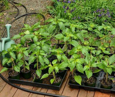 Starting Seeds: Cost Effective Methods = Better Plants