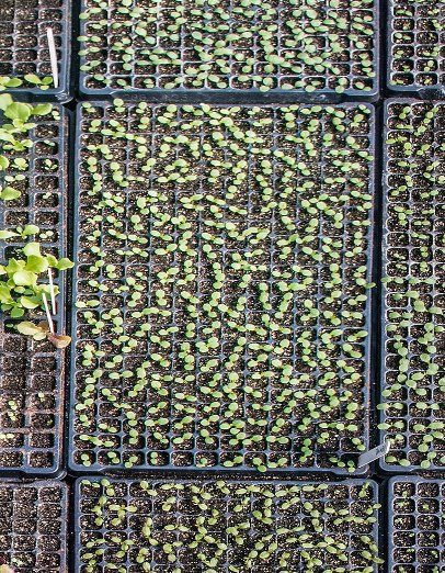 Starting Seeds: Trays Reduce Potting Mix Waste