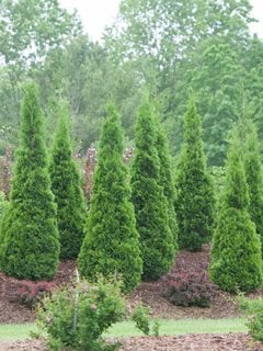 arborvitae trees types care