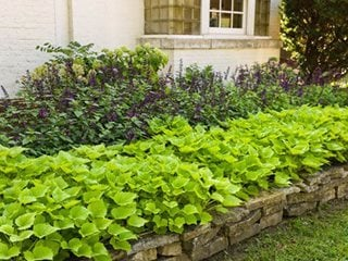 Sweet Potato Vine How To Plant Grow And Care For Ipomea Batatas Garden Design