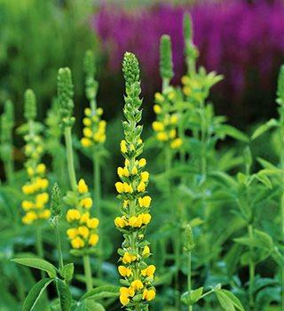 Thermopsis  Garden Design