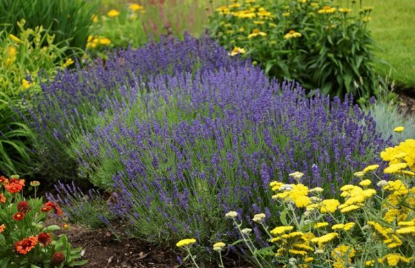 growing lavender planting & caring