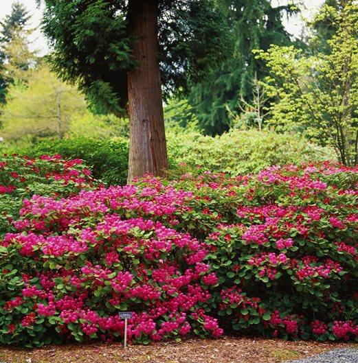 wild species rhododendrons garden