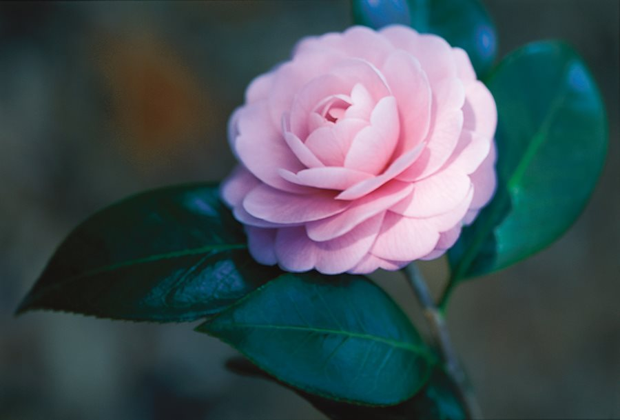 camellia flower guide growing
