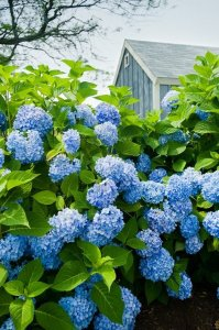 How to Grow & Care for Hydrangeas | Garden Design