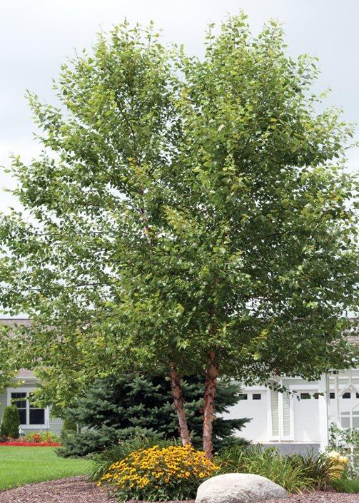 birch trees planting caring