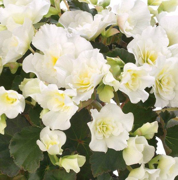 begonias - plant grow &