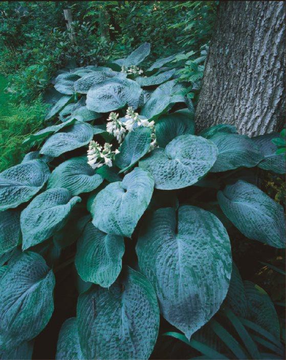 top hosta plants shade garden