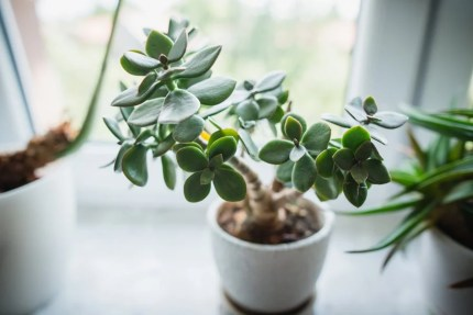 Image result for Jade Plant houseplant