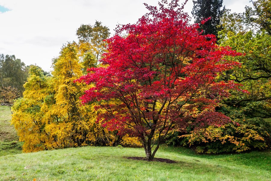 Maple Leaf Wallpaper For Fall Season Japanese Maples How To Plant Care And Prune Garden Design