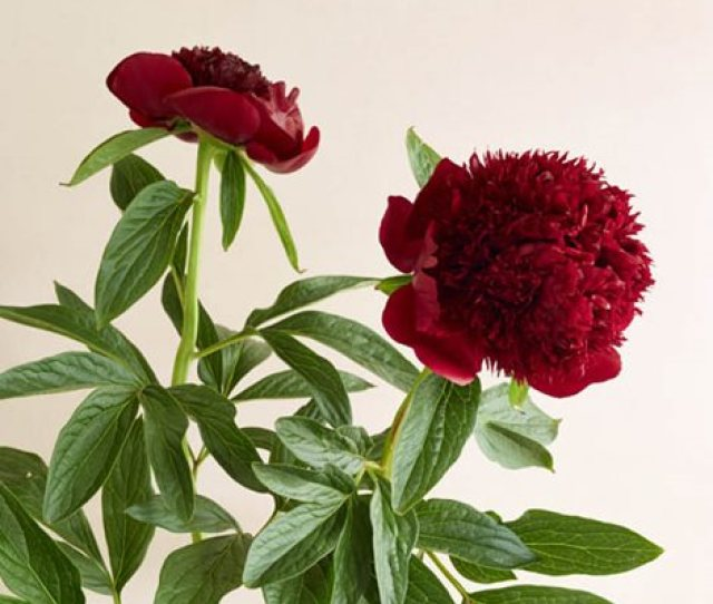 Red Charm Classic Peony Red Flower Garden Design Calimesa Ca