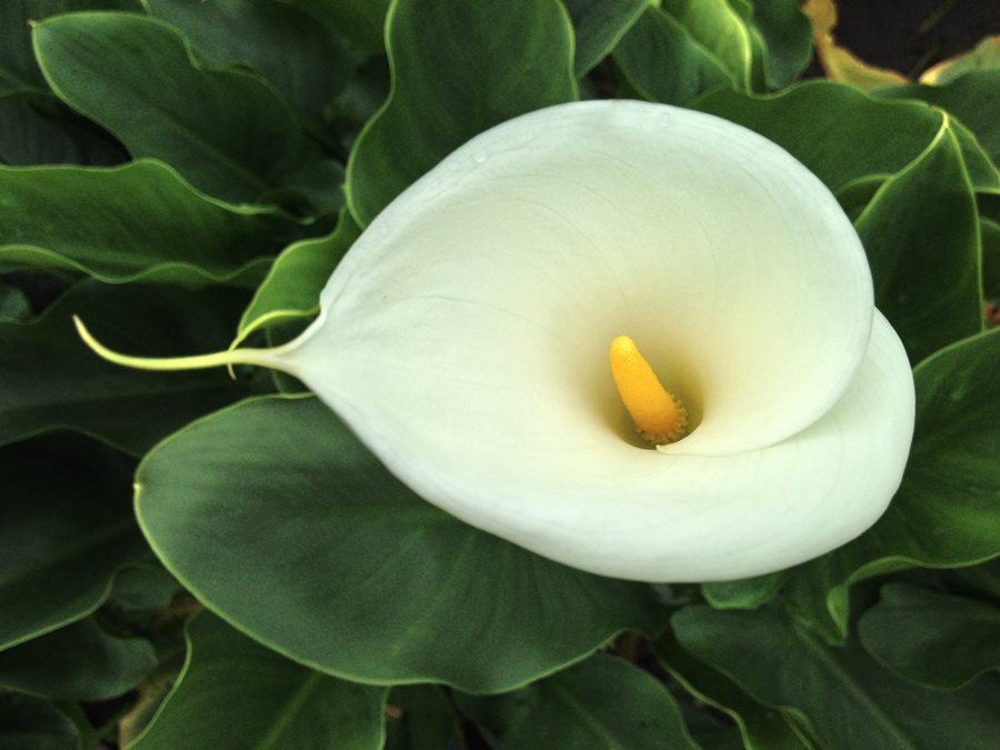growing lilies how to