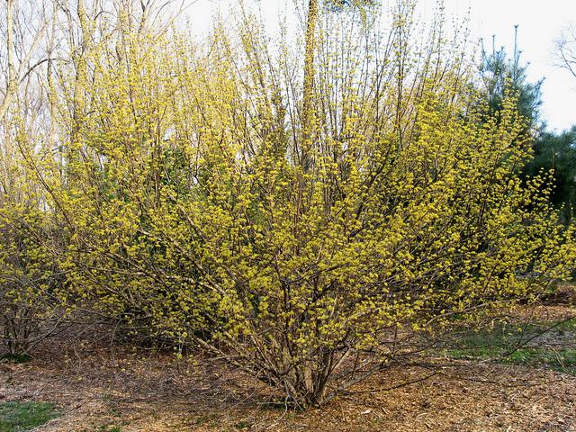 Cornus Officinalis Kintoki Phs Gold 12