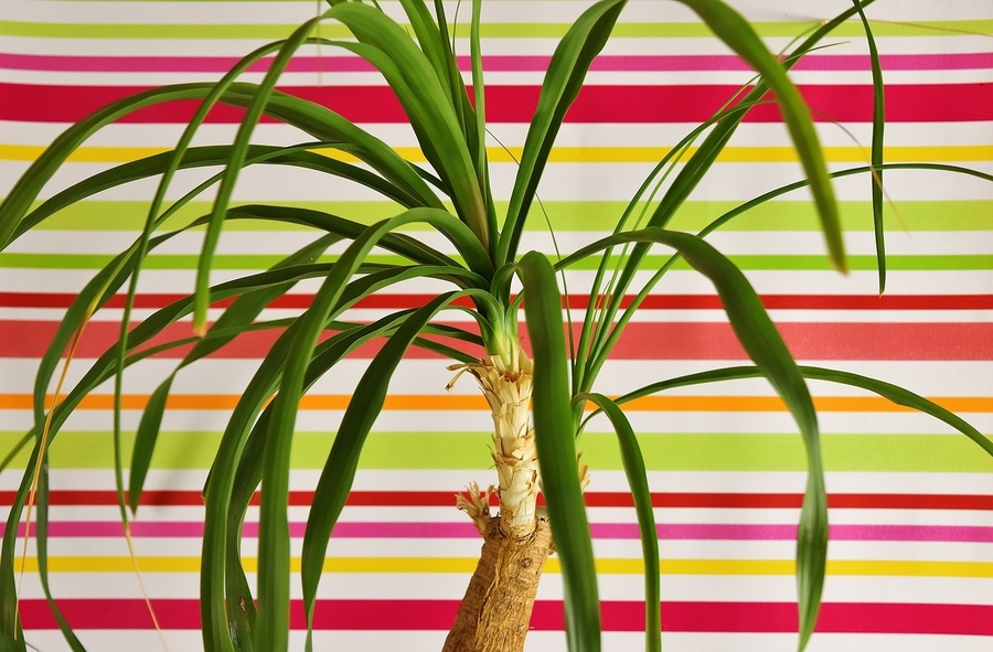signs of an underwatered ponytail palm