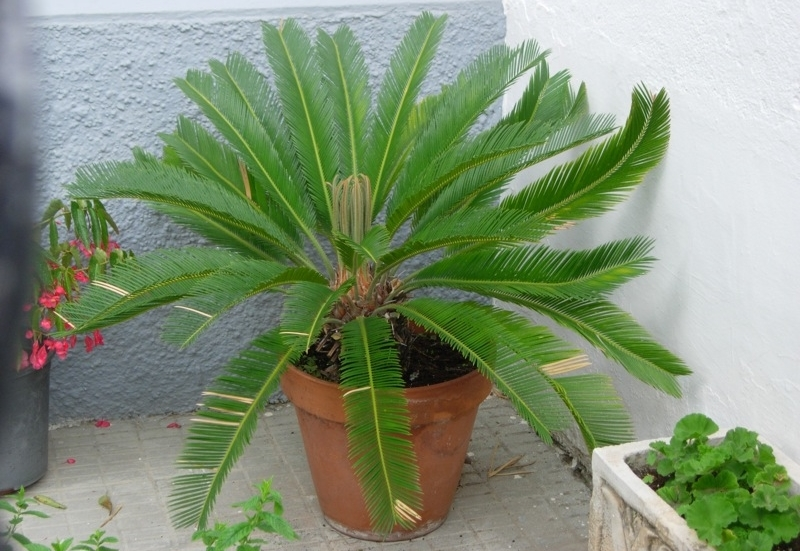 sago palm with yellow spots