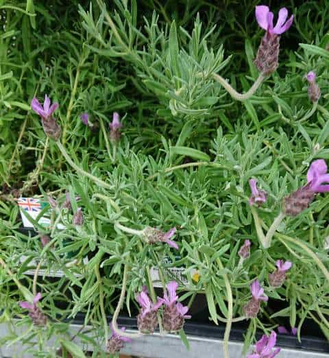 why is my lavender drooping the
