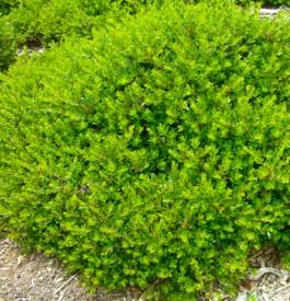 Arctostaphylos Emerald Carpet, drought tolerant ground cover