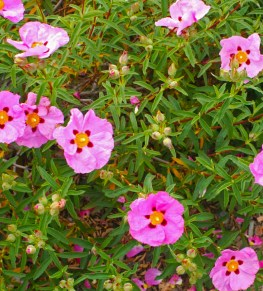 Cistus x purpureus or Rock Rose, a hardy shrub