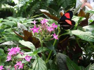 Butterfly on Pentas