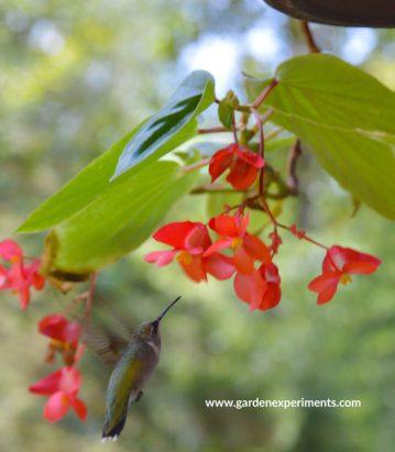 Ruby-throated hummingbird feeding on a begonia