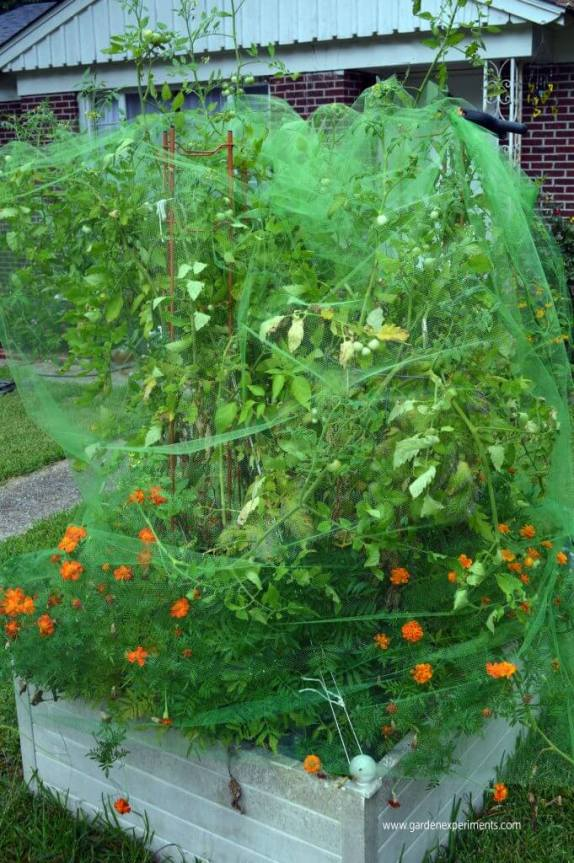 Terraza raised bed full of tomato plants and marigolds