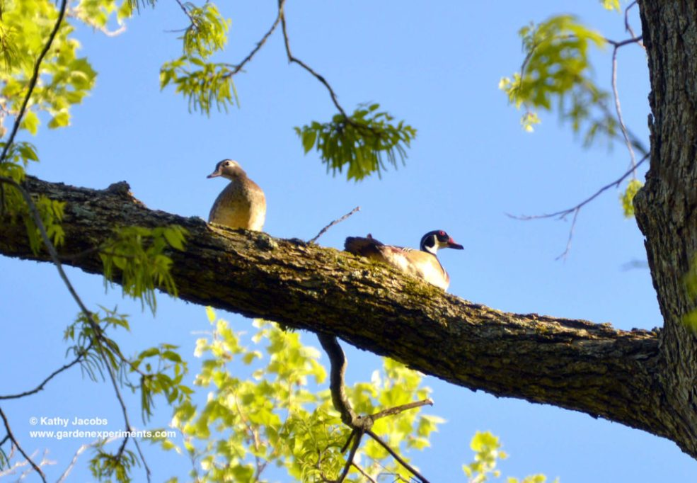 Male and Female Wood Ducks in My Tree