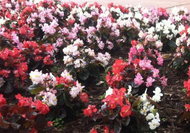 red, white, pink begonias