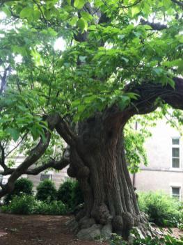 Champion Catalpa tree