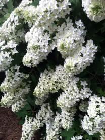 Oak-leaf hydrangeas