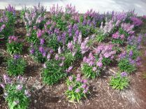 purples and pinks planted in diagonal rows