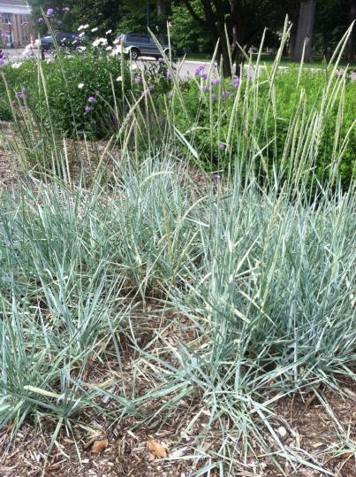 Some type of wheat in the butterfly garden