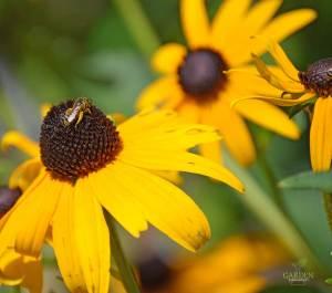 Honeybee on a black-eyed Susan flower