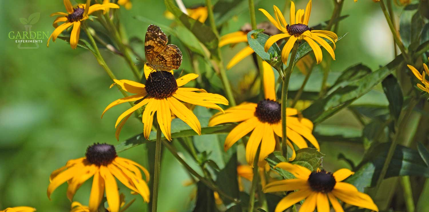 Black-eyed Susan flowers with a butterfly feeding on one flower