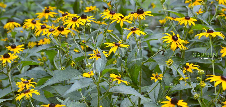 Black-eyed Susans in abundance