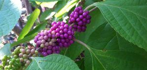 American Beautyberry: Callicarpa americana