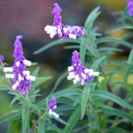 Mexican Salvia – Fall Blooming, Deer & Drought Resistant