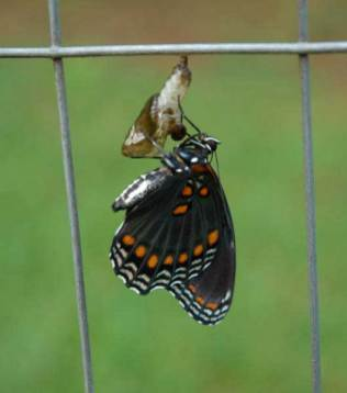 Butterfly coming out of chrysallis