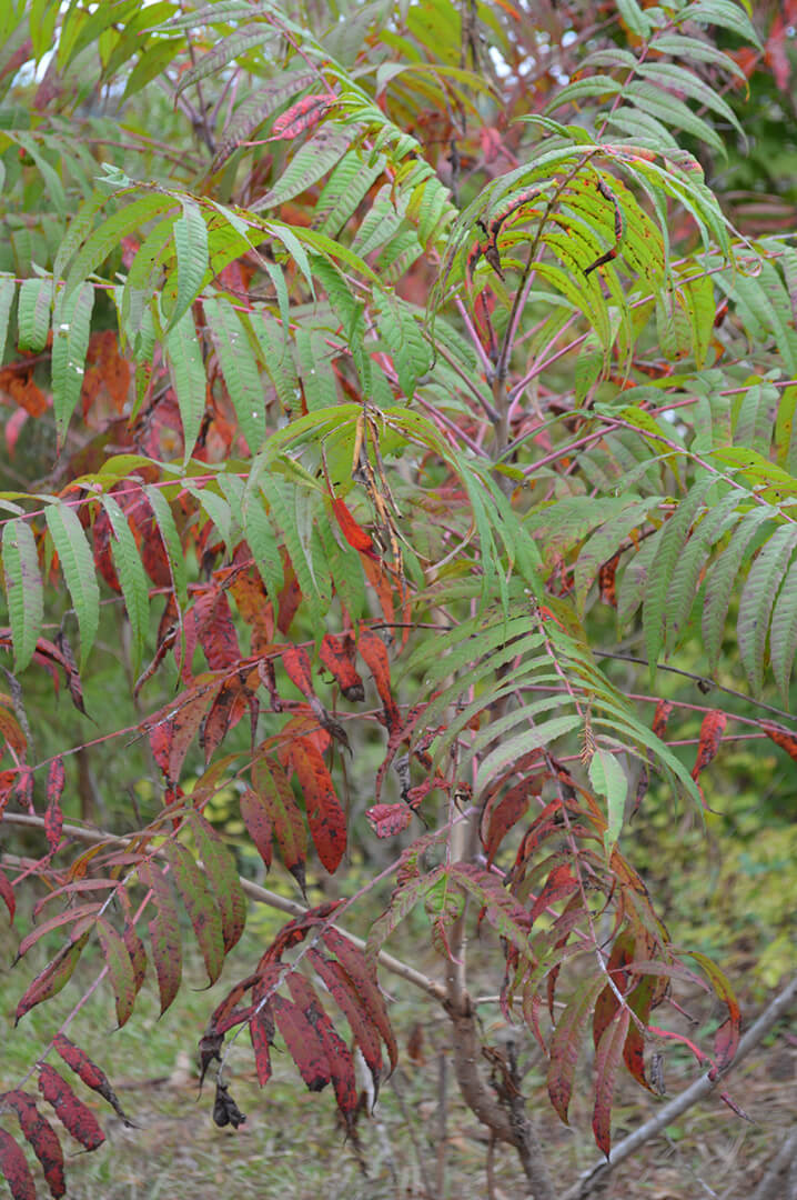 Sumacs also provide great fall color