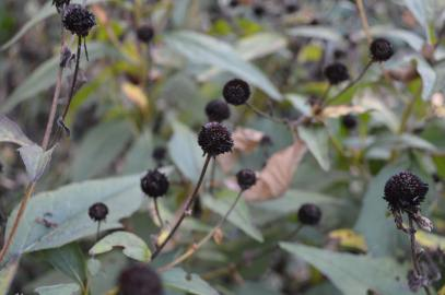Rudbeckia seeds are fed upon by birds