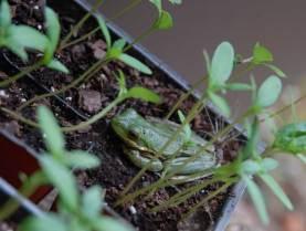Tree frog taking refuge in my seedlings