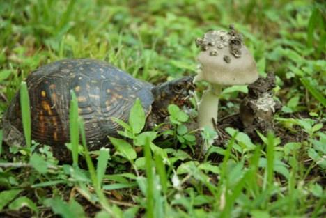 Turtle eating mushroom