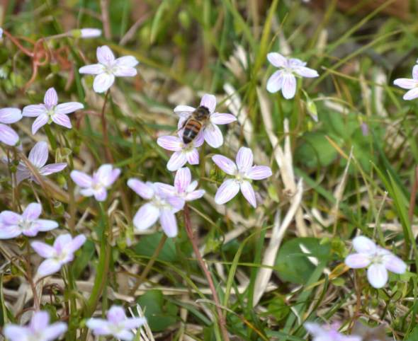 Honey bee on Claytonnia spp (spring beauty) in the grass.
