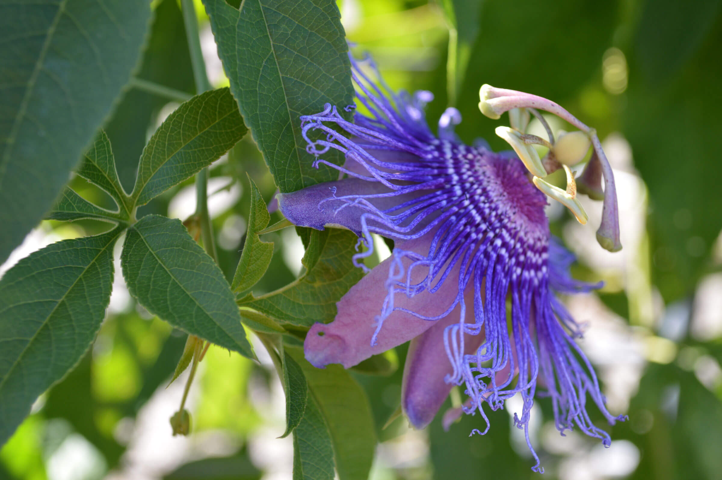 Purple Passionflower Passiflora Incarnata